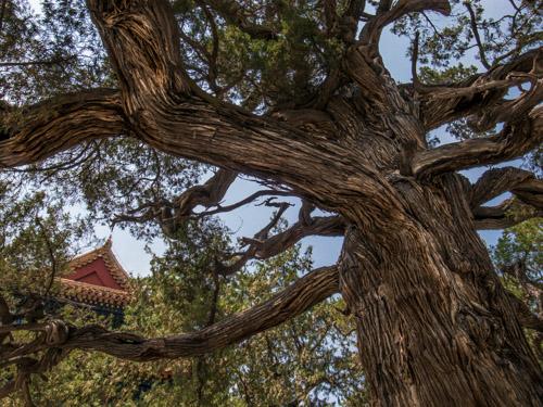 Pohon tua berumur 709 tahun di Confucius temple, Beijing. ISO 80, f/3.5, 1/850