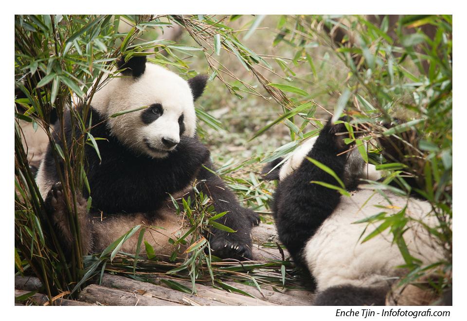 pusat-konservasi-panda