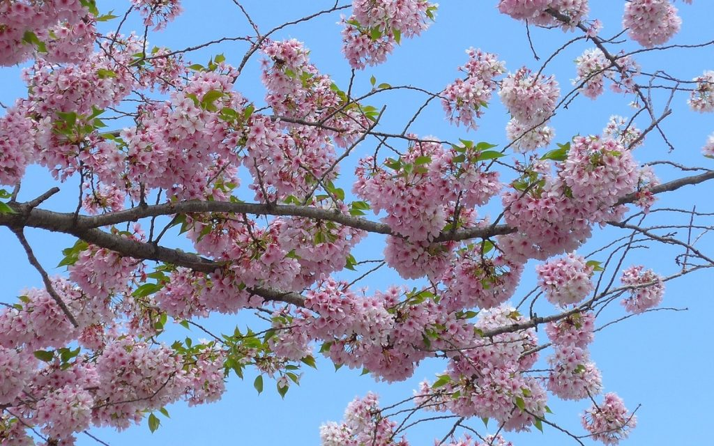 Bunga Sakura, Samsung NX300 dengan lensa telefoto 50-200mm