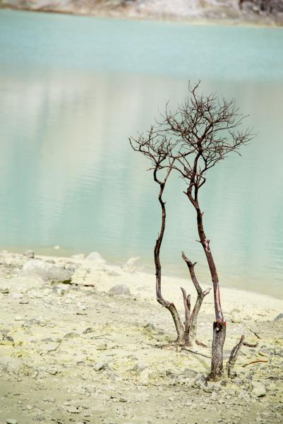 Pohon di kawah putih, Ciwidey