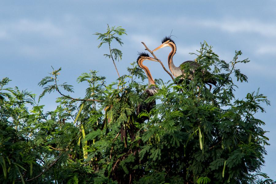Merajut sarang kasih. Untuk foto burung, idealnya mengunakan lensa telefoto sekitar 400-600mm. ISO 320, f/5.6, 1/1000 detik
