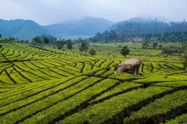 Perkebunan teh di Rancabali, Ciwidey. Rombongan akan menginap disini