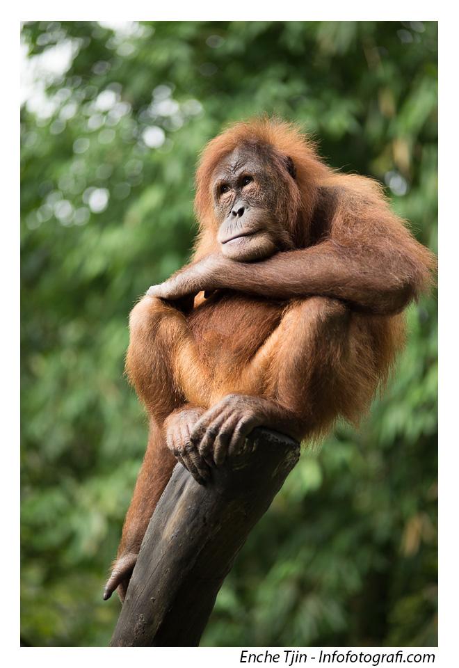 orangutan-zeiss-100mm